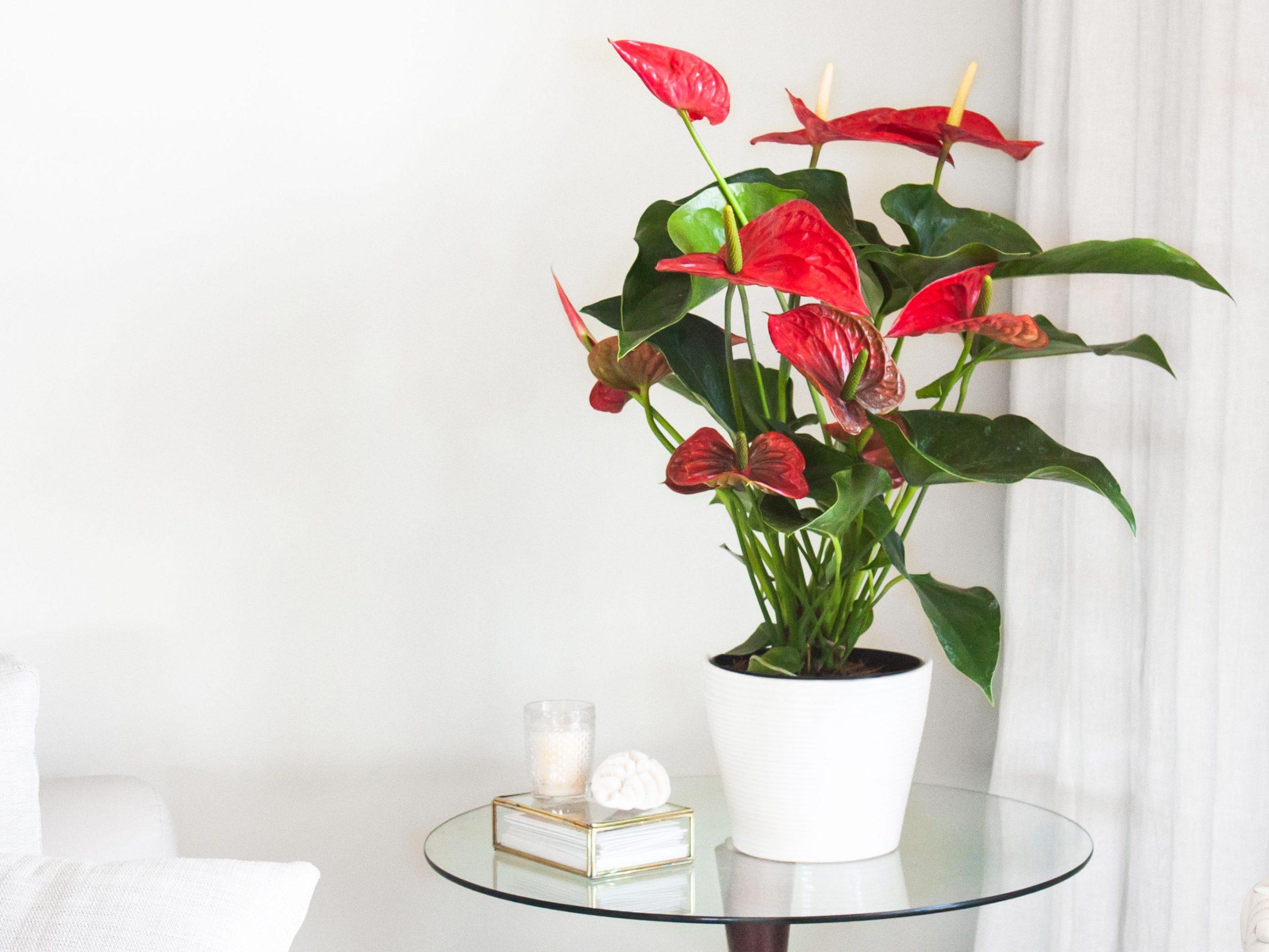 buy Anthurium plants
